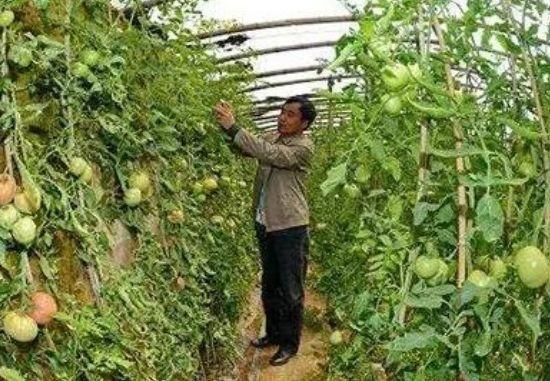 西红柿种植小妙招